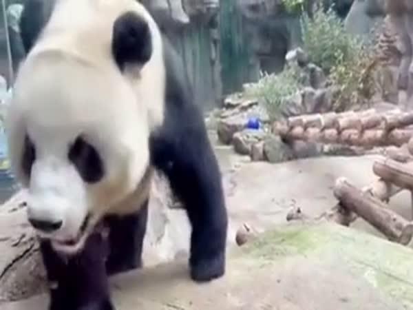Panda a její reakce na lidi