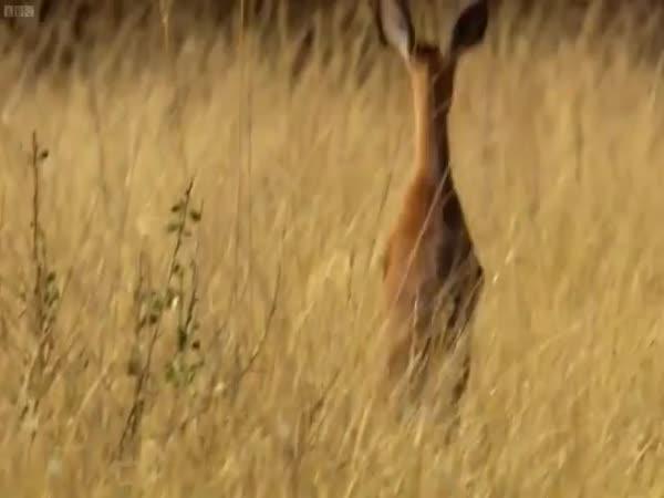 Legrační chvíle v africké divočině