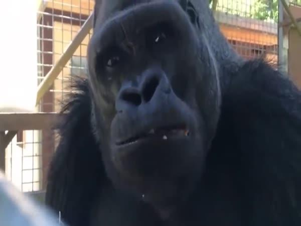 Žena učila gorilu mluvit 40 let